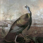 Audubon's Turkey Cock